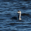Red-throated Loon - species 178 for the year