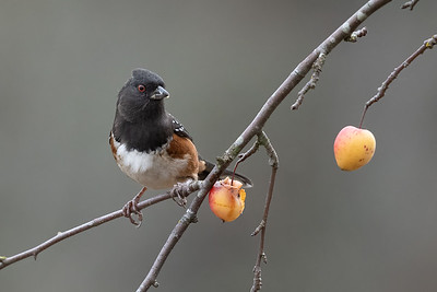 Spotted Towhee on a Crabapple Tree