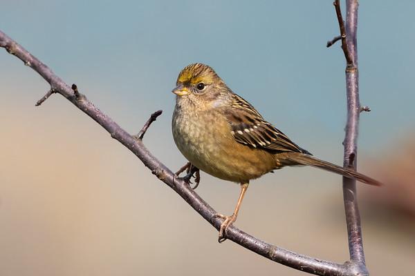 Golden-crowed Sparrow
