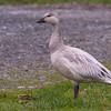 Snow Goose - Juvenile