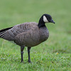Cackling Goose - ssp cackling.   I photographed a cackling earlier in the year of the Aleutian subspecies identified by their white neckband and square head.  This cackling ssp has a more rounded head and no neckband and overall darker colouring