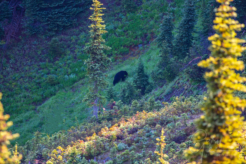Big Black Bear - Olympic National Park, WA