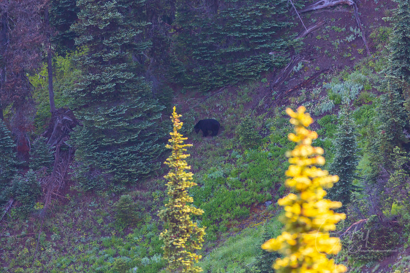 Large Black Bear - Olympic National Park, WA