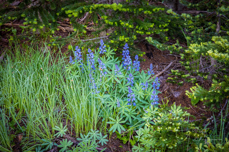 Lupine - Olympic National Park