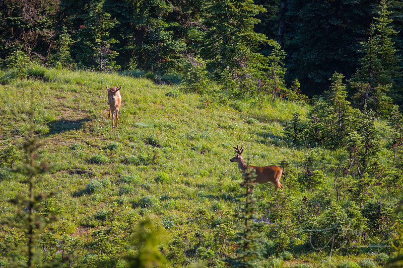 Black Tail Bucks - Olympic National Park, WA