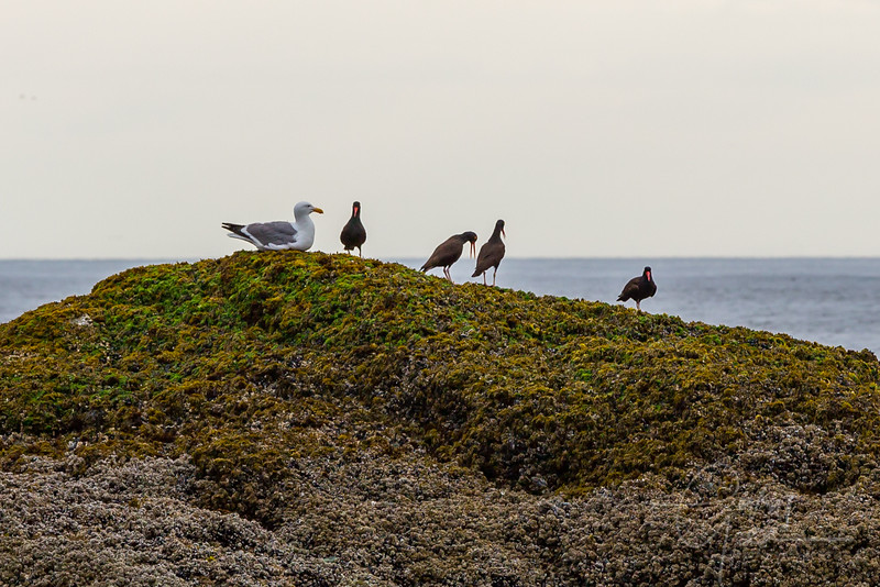 Black Oyster Catchers - Oregon Coast