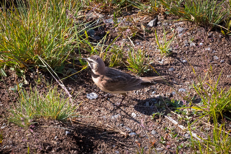 Horned Lark - Olympic National Park