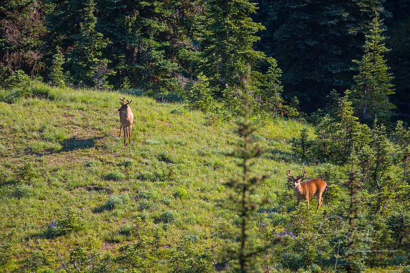 Two Black Tail Bucks - Olympic National Park, WA