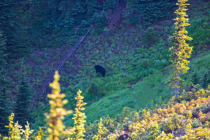 Black Bear - Olympic National Park