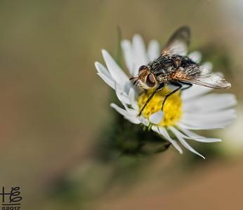 Pollinator fly
