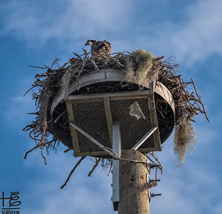Osprey in nest platform