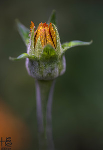 Mexican sunflower bud