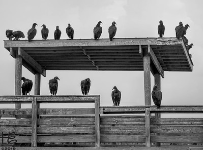 Black vulture convention