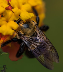Bee working lantana