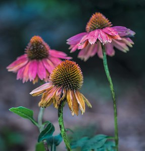 Elder coneflowers