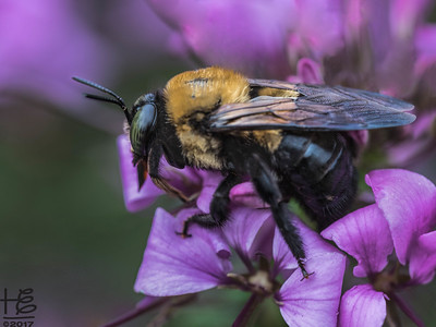 Sleepy carpenter bee