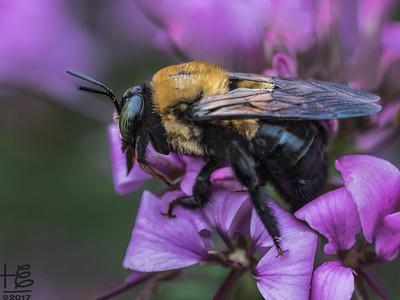 Sleepy carpenter bee