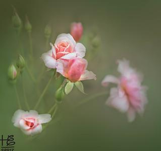 Delicate rose family