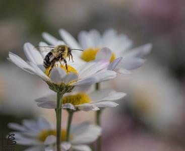 Bee on a daisy tower