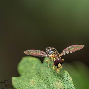 TINY hovery fly