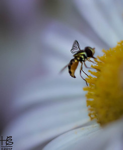 Hover fly wing