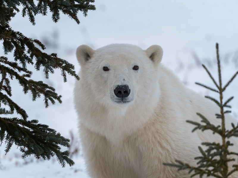 Churchill Wild Polar Bear