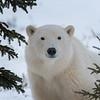 Churchill Wild Polar Bear