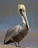 Brown Pelican, Resting,<br /> Matagorda Island, TX