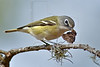 Blue-headed Vireo, Eating Butterfly,<br /> Hermann Park, Houston, Texas