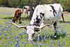 Longhorn Cattle Grazing Amongst Bluebonnets<br /> Washington County, Texas