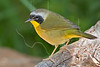 Common Yellowthroat Warbler, Male,<br /> Quintana Neotropical Bird Sanctuary, Quintana, Texas