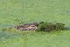 American Alligator, Stealth,<br /> Brazos Bend State Park, Texas