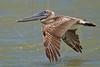 Brown Pelican, Juvenile, Flight,<br /> Freeport Jetty, Texas