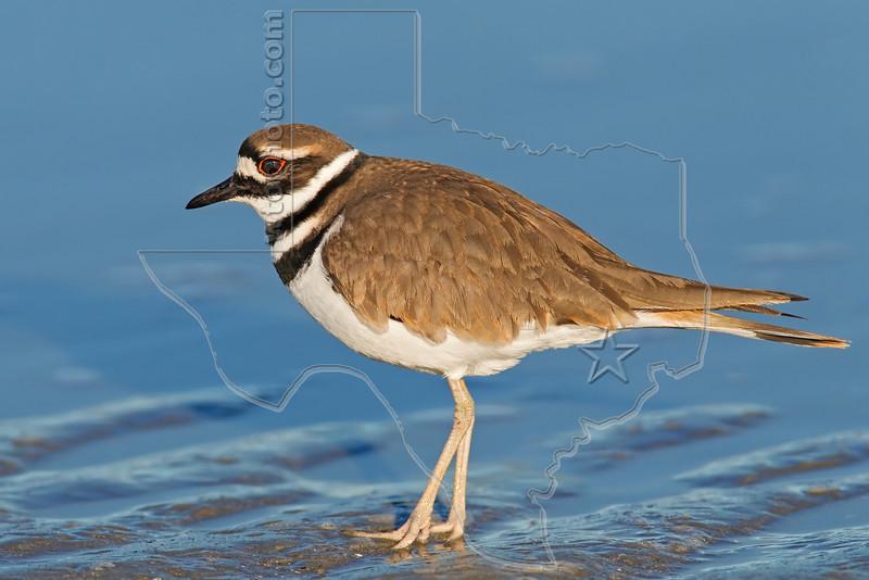 Killdeer, <br /> Bolivar Flats Shorebird Sanctuary - Texas