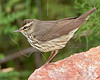 Northern Waterthrush,<br /> Quintana Neotropical Bird Sanctuary, Quintana, Texas