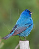 Indigo Bunting, Male,<br /> Quintana Neotropical Bird Sanctuary, Quintana, Texas