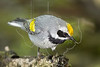 Golden-winged Warbler, Wet,<br /> Lafitte's Cove, Galveston, TX