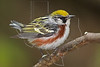 Chestnut-sided Warbler,<br /> Lafitte's Cove, Galveston, TX