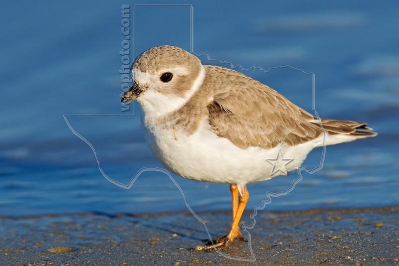 Piping Plover,<br /> East Beach, Galveston, Texas