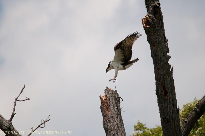 Osprey at Mason Neck