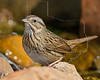 Lincoln's Sparrow,<br /> Quintana Neotropical Bird Sanctuary, Quintana, Texas