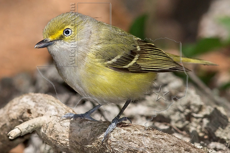 White-eyed Vireo,<br /> Lafitte's Cove, Galveston, TX