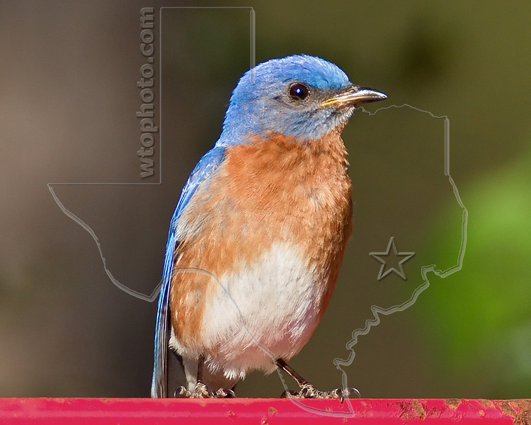 Eastern Bluebird,<br /> W. G. Jones State Forest, Conroe, Texas