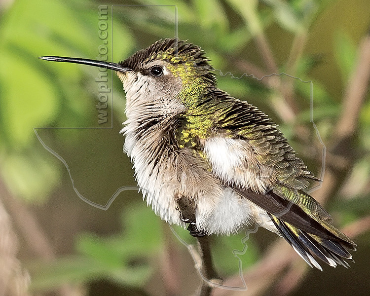 Ruby-throated Hummingbird, Wet,<br /> Quintana Neotropical Bird Sanctuary, Quintana, Texas