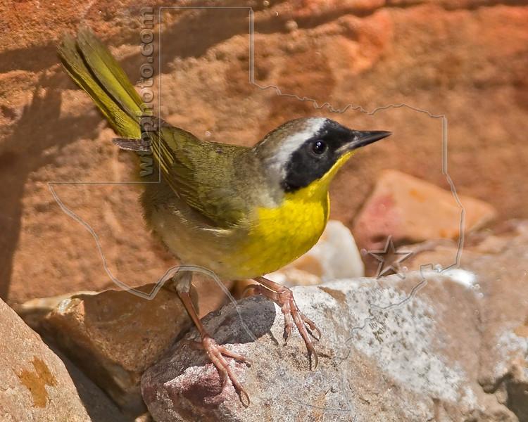 Common Yellowthroat Warbler, Male,<br /> Quintana Neotropical Bird Sanctuary, Quintana, Texas