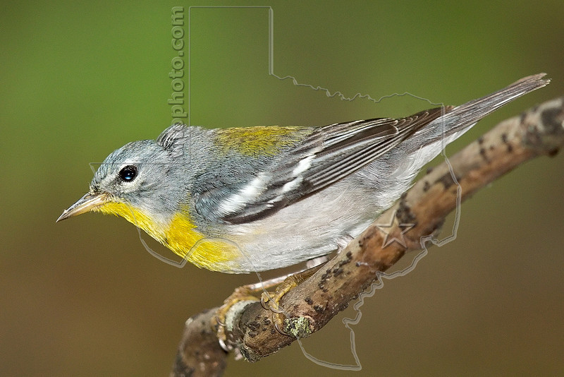 Northern Parula, Female,<br /> Lafitte's Cove, Galveston, TX