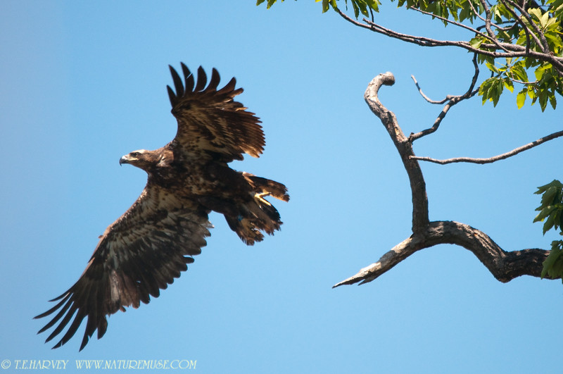 Young Eagle at Mason Neck Wildlife Refuge