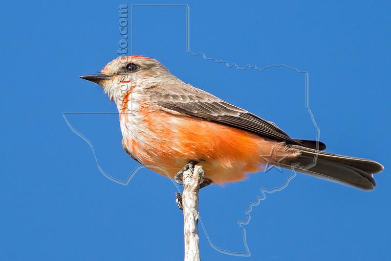 Vermilion Flycatcher, Immature Male,<br /> Brazos Bend State Park, Texas