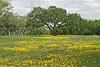 Nueces Coreopsis (coreopsis nuecensoides)<br /> Nordheim, Dewitt County, Texas