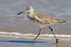 Willet, Winter Plumage,<br /> Matagorda Island, TX